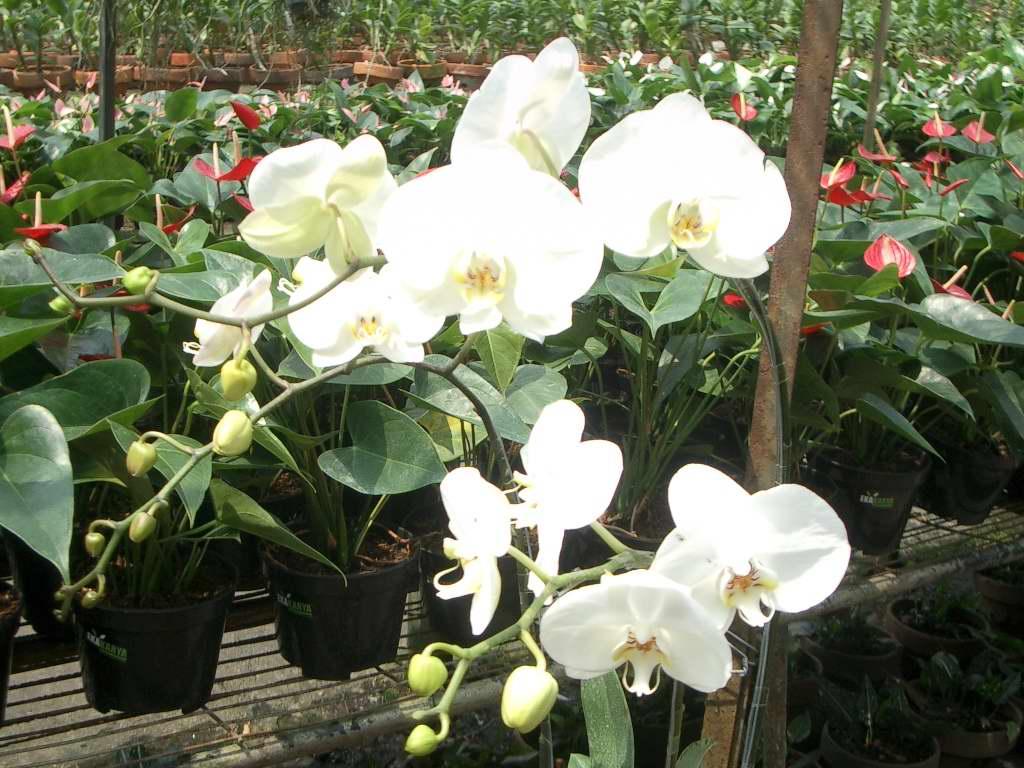 Prospek Dan Manfaat Anggrek Phalaenopsis Amabilis Daun Hijau